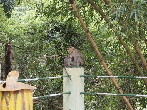 monkeys in mysore bird sanctuary