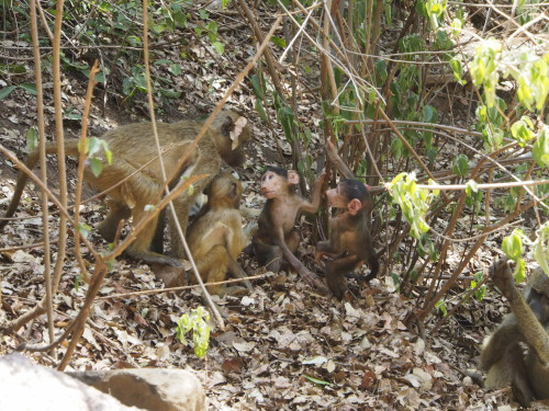 Small baboons