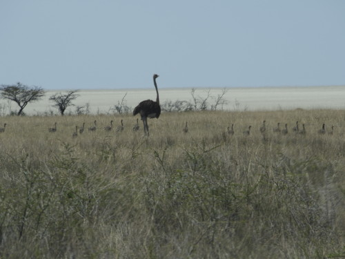 Ostrich with young ones